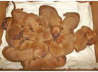 Cute Bullmastif puppies