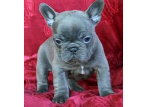 Chunky Short Family Spoiled Outgoing Personality Blue Gene French Bulldog Puppies * Vet Check* Lifetime Advice