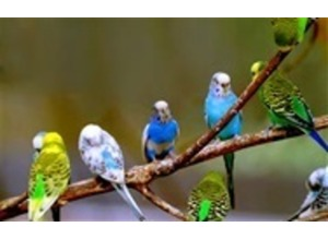 budgies for sale all colours £20 each