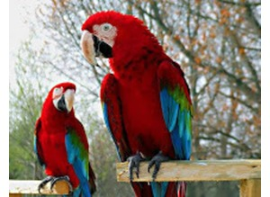 A Pair Of Green Winged Macaw For Rehoming.