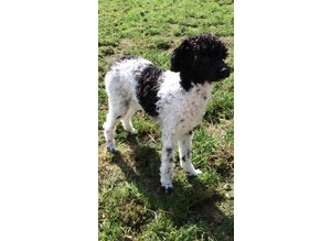 PROVEN Toy Poodle for Stud Artificial Insemination Available