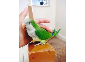 Hand reared baby Quaker silly tame talking parrot