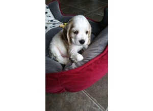 cocker spaniel puppies for good homes