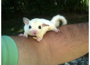 Sweet friendly sugar gliders available