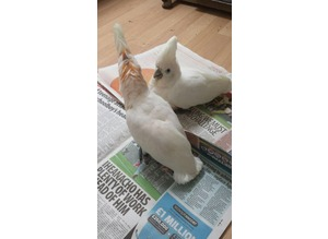 Hand Reared Baby Ducorps Cockatoo £800 Eeach Months Of Age.