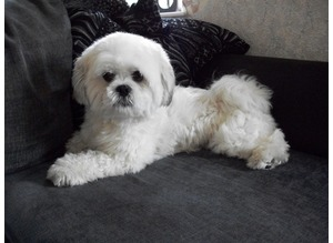 Lhasa Apso, for stud, Lhasapoo's