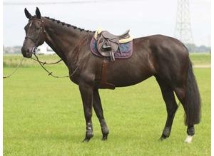 Beautiful black friesian mare