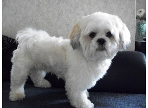 Lhasa Apso ( Lhasapoo's) for Stud Artificial Insemination short Notice
