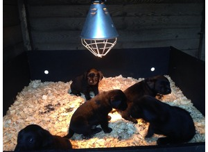Working or pet Labrador puppies for sale