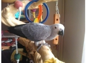 Baby African Grey Parrot - Complete Set Up