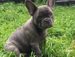 Stunning Blue French Bulldog Pups For Sale