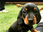 Loving Miniature Dachshund Puppies Ready Now