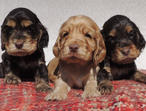 Cocker Spaniel Pups Parents Pra Heretitary Clear