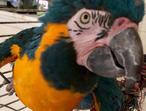 Blue/Gold Sweet Blue throated macaws*********