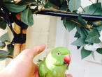 Beautifull hand tame baby ringneck talking parrot