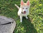 Husky puppy for sale lower cost
