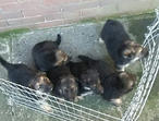 german sheperd puppys for sale
