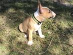 Absolute Stunning boys & girls Bull Terrier Pups for sale