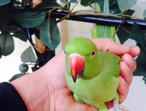 Beautifull hand tame baby Indian ringneck talking parrot