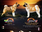 Gorgeous American Akita puppies for sale
