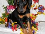 welcoming doberman pinscher puppies
