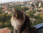 Registered Maine Coon Princess Girl 6 months