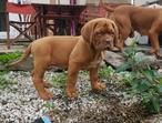 Bromley KC Championship bloodline Dogue De Bordeaux puppy, Sires pick of the litter