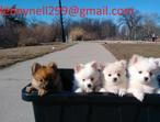 Kc Teddy Parti Pomeranians