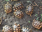 Marginated tortoise hatchlings for sale