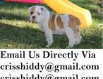 Top Quality Olde English Bulldog Pups