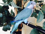 Baby blue Quaker talking parrot hand tame