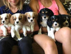 Exceptional Blenheim Cavalier King Charles Puppies