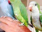 BABY Talking parrot Indian ringneck