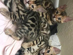 6 Beautiful 5**star Male And Female Bengal Kittens