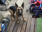4 year old female GSD. NOT NEUTERED.
