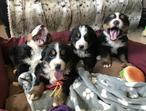 Beautiful Bernese Mountain Dog Puppies Available For Sale In London