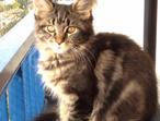 Registered Maine Coon Kitten, Unique Shadow