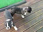 Beautiful Boston Terrier Pup For Sale
