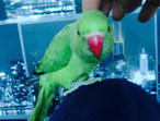 cuddly tame baby Indian ringneck parrot