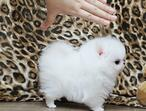 XXXProfessional Quality Ice White Tea Cup Pomeranian super small XXS size tiny