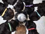 Stunning litter of mix coloured Airedoodle puppies