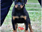 Top Top DOCKED Rottweiler Puppies for Sale