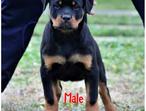 Top Top DOCKED Rottweiler Puppies for Sale