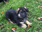 Exceptional Czech Litter Import 4 Straight Back To Back German Shepherd Puppies 4or The Right Home