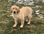Roly-Poly Loves Golden Retriever Puppy