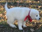 Kc Reg Golden Retriever Puppies To Go