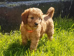 BEAUTIFUL RED CAVAPOO GIRLS