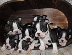 Stunning Kc Reg Boston Babies