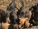 Mini Dachshund (Mixed Color Black & Tan) Puppies