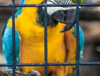 MYA----BLUE/GOLD Macaws.... SIMPLY Children Trained Macaws